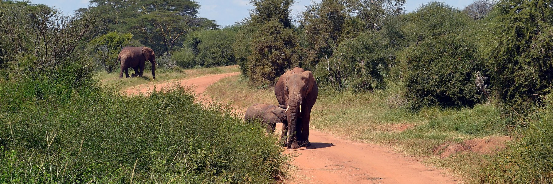 A mother elephant guards her offspring in the middle of the road. Credit: Elizabeth Forbes
